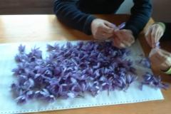 Separando los estigmas del pistilo de la flor del azafrán.